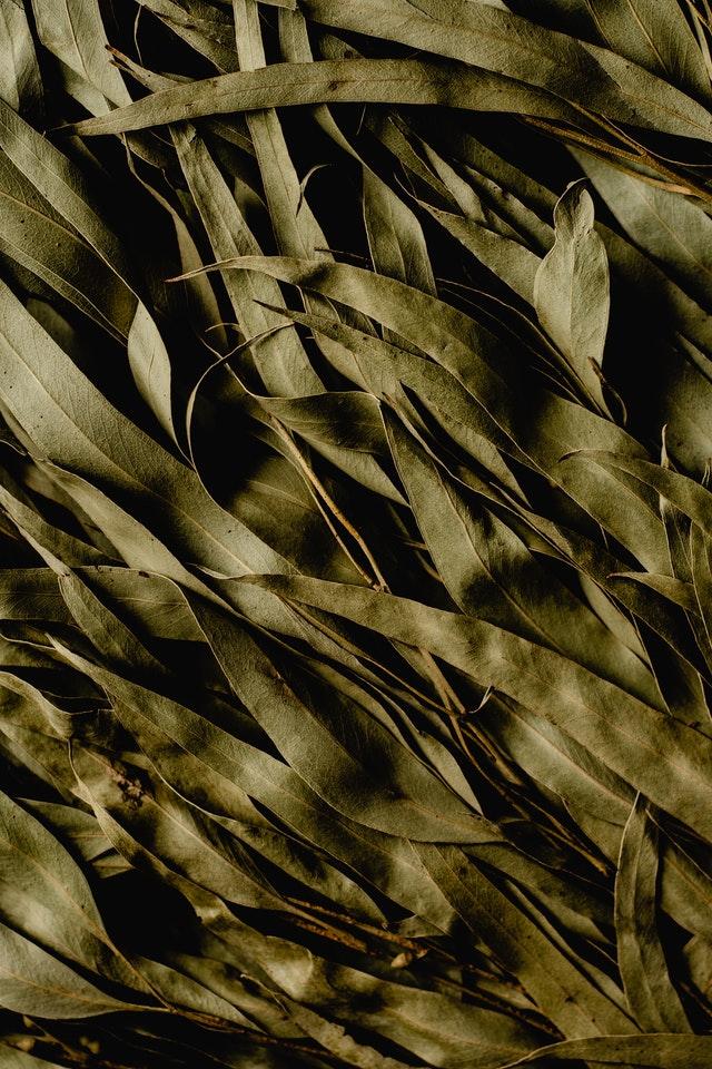 feuilles eucalyptus anti-moustique