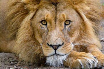 déco à thème lion